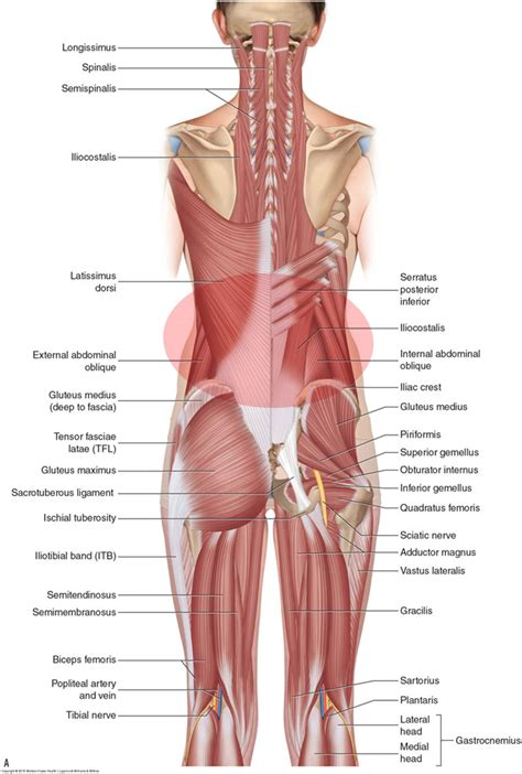 Deep Muscles Of The Back What Are The Causes Of Low Back Muscle Spasming