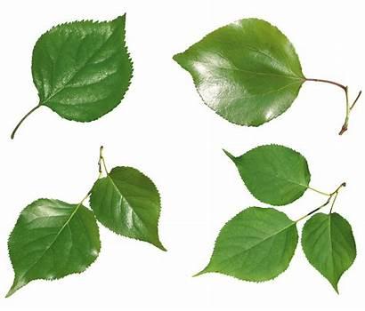 Leaves Leaf Transparent