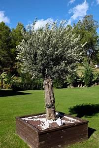 Planter Un Olivier En Pot : olivier planter et tailler ooreka ~ Dailycaller-alerts.com Idées de Décoration