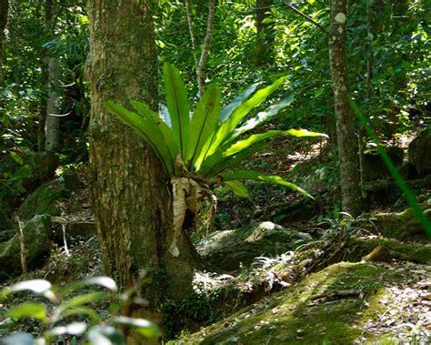 gardensonline asplenium australasicum