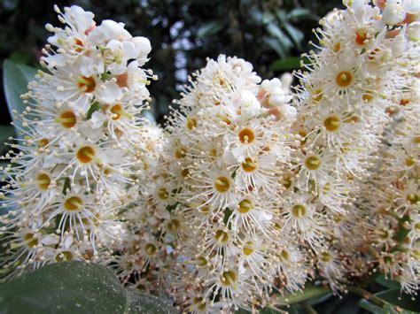 Kirschlorbeer Caucasica Schneiden » So Machen Sie's Richtig