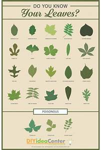 Pecan Identification Chart Leaf Identification Guide Infographic Leaf