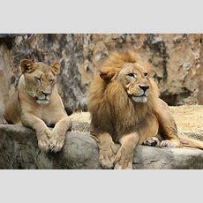 Free Photo Lion, Lioness, Pair, Animal World  Free Image