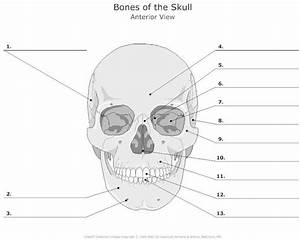 Parts Of Skull Printables