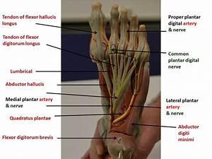 Nerves  U0026 Vasculature Of The Lower Limb
