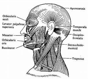 Human Anatomy  Muscles Of The Head