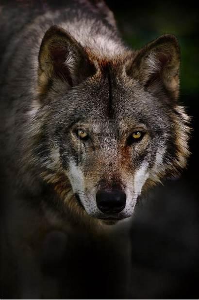 Wolf Timber Wallpapers Wallpapersafari