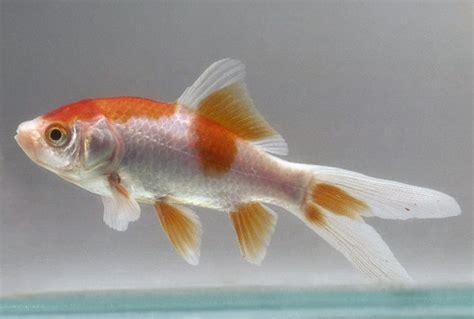 freshwater fish talk comet goldfish