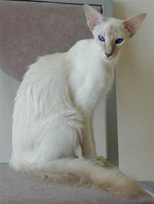 balinese cat balinese cat beautiful jkc