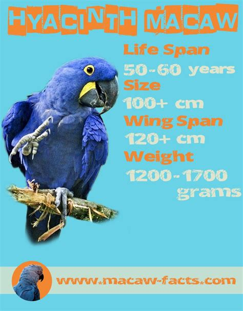 macaw lifespan hyacinth macaw lifespan weight and size macaw facts