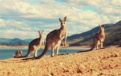 Kangaroo Wallpapers Desktop Gambar Animal Kanguru Animals