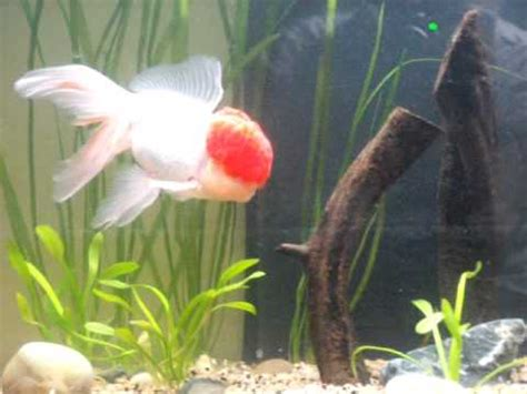 nouvel aquarium voile de chine et oranda