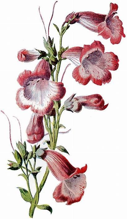 Flower Clipart Illustrations Penstemon 1905 Garden Flowers