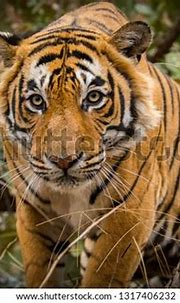 Dominant Royal Bengal Male Tiger Portrait Stock Photo ...