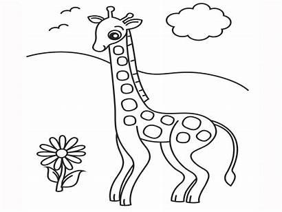 Giraffe Pages Coloring Cartoon Okapi Facts Drawing
