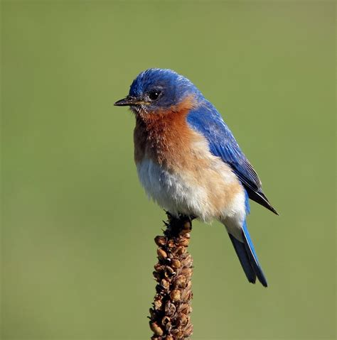 blue birds jersey digiscoping and more more migrants with some bluebirds