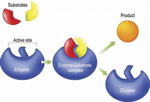 Enzymes  Function  Definition  And Examples