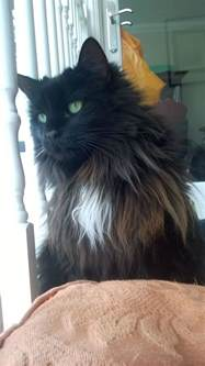 forest cat rescue half forest cat for adoption free folkestone