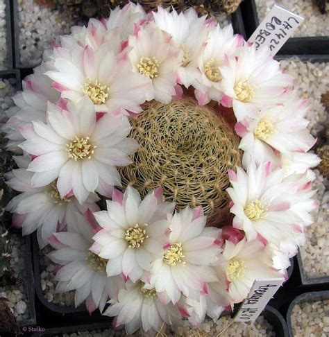 sulcorebutia roberto-vasquezii   สวนจิ๋ว, พืชอวบน้ำ
