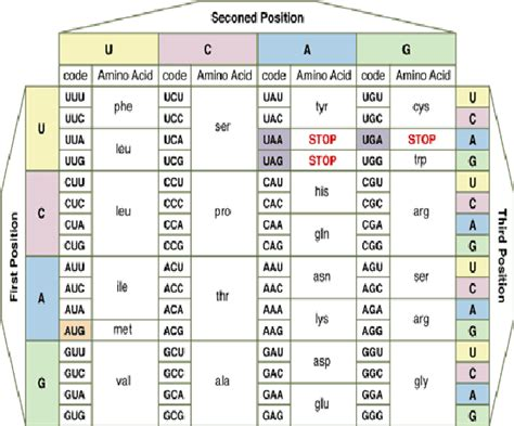 amino acidcodons table  scientific diagram