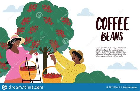 Select from premium coffee harvest images of the highest quality. Harvesting And Cultivating Coffee Beans Poster Stock Vector - Illustration of natural, basket ...