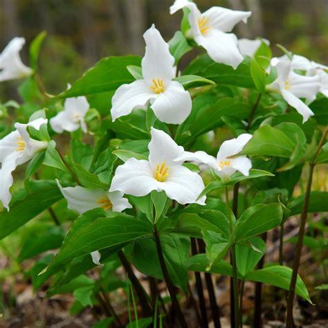 trillium plant van zyverden woodland plant trillium grandiflorum roots 3 pack 11396 the home depot