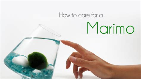 How To Care For Marimos Youtube