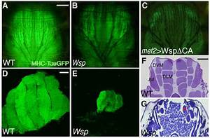 The Actin Nucleator Wasp Is Required For Myoblast Fusion