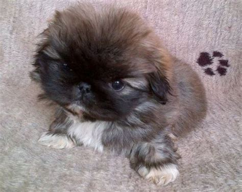 puginese pekingese  pug mix dog breed info temperament