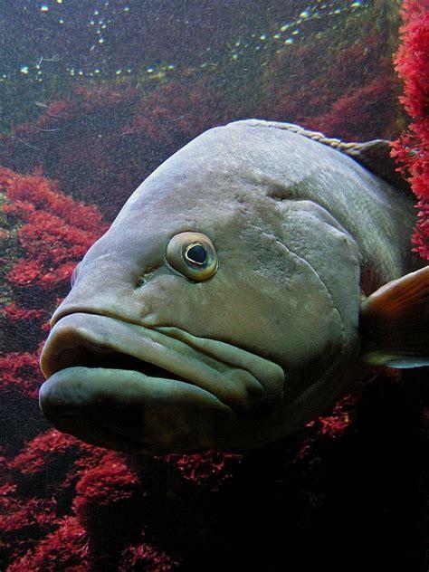 fish water ocean spanish english mero yellowbelly sea scientific