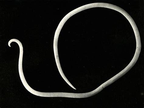 Тип плоские черви (plathelminthes) [1972 Станек В.Я