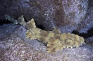 Ornate wobbegong shark | Exotics Fish | loricula flame ...