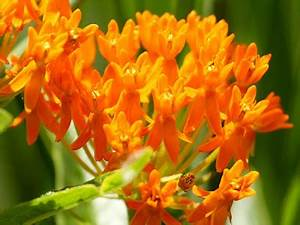 Ecobirder Butterfly Weed