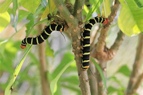 Common Plumeria Pests Treating Plumeria Insect Pests In