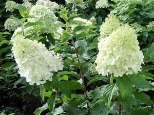 Hydrangea Paniculata Schneiden : hortensie rispenhortensie 39 polar bear 39 hortensientr ume ~ Lizthompson.info Haus und Dekorationen