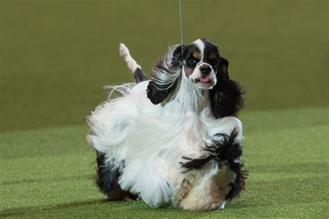 beverly hills dog show   stream time tv channel