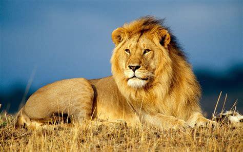 Wallpaper Lion, Savanna, 4k, Animals #14877