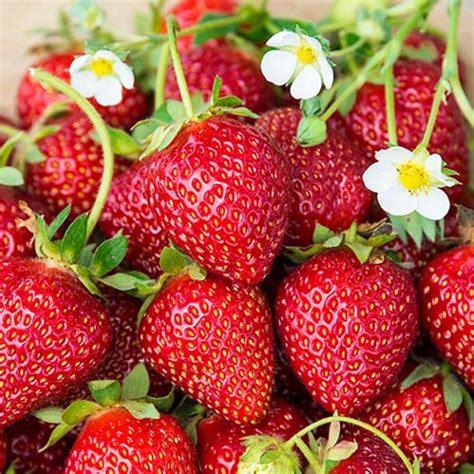 Ozark Beauty Strawberry - Gurneys Seed & Nursery