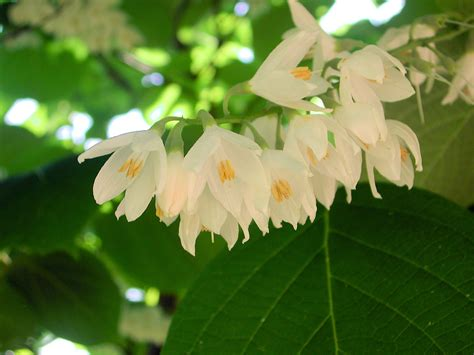 fragrant flowers white flowers of fragrant snowbell nature photo gallery