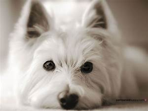 Westie looking right into the camera | Doggy Desktops ...