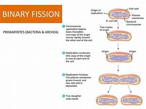 Ppt - The Cell Cycle Powerpoint Presentation
