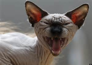 sphinx cat sphynx cats 2013 pictures and