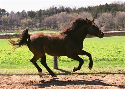 horse muscles running psoas horses rider lies beneath seat wellness riders