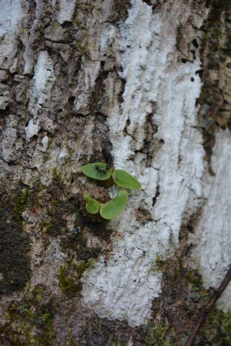 pflanzen gegen ameisen symbiotische beziehungen ameisen z 252 chten pflanzen gegen die obdachlosigkeit spektrum der