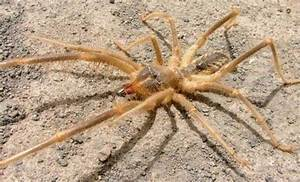 Solifugae: Like Spiders But Less Dangerous And More Gross ...