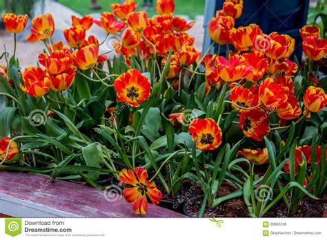 tulip flower garden free stock tulip flower stock photo image 69865336