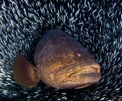 goliath jim grouper abernethy lose protection florida usa