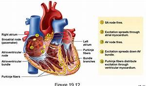 Hearts Conduction System In Order