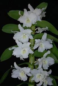 Schöne Orchideen Bilder : orchideen besondere sch ne pflanzen ~ Orissabook.com Haus und Dekorationen