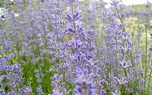 Lavendel Sorten übersicht : lavendel 39 reve de jean claude 39 pflanze lavandula angustifolia pflanzen saatgut ~ Eleganceandgraceweddings.com Haus und Dekorationen
